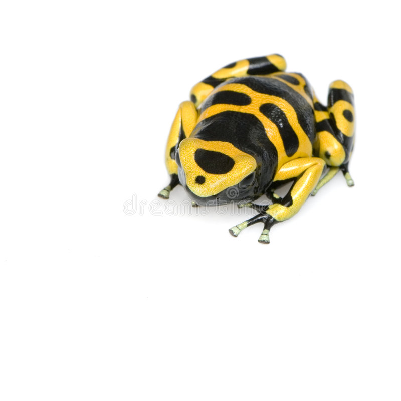 Poison Dart Frog. Yellow and Black Poison Dart Frog in front of a white background stock image