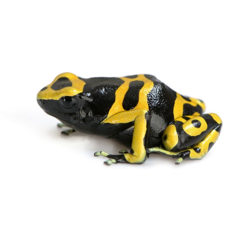 Poison Dart Frog. Yellow and Black Poison Dart Frog in front of a white background royalty free stock images