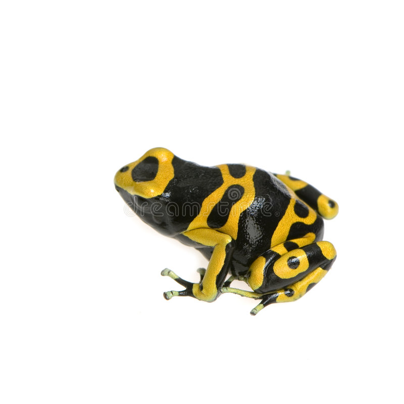Download Poison Dart Frog stock image. Image of batrachians, humidity - 2313751