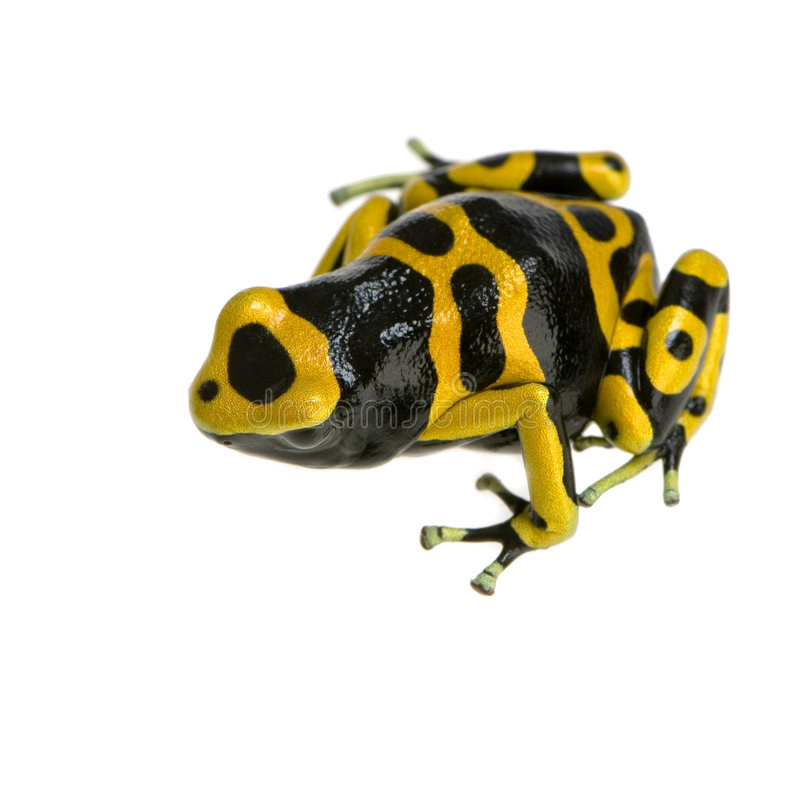 Poison Dart Frog. Yellow and Black Poison Dart Frog in front of a white background royalty free stock photos