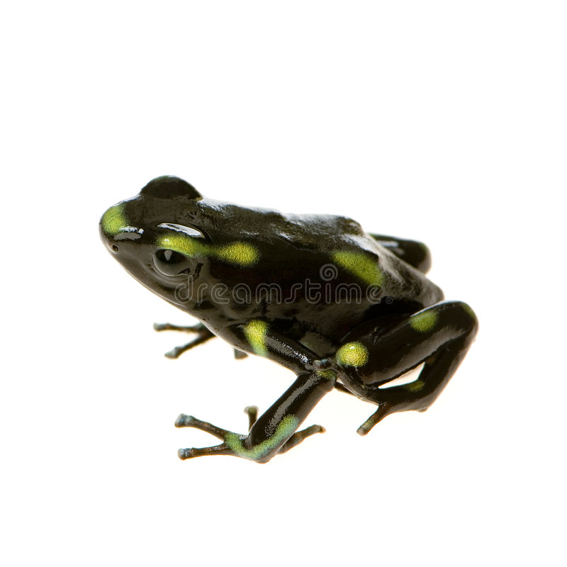 Download Poison Dart Frog Royalty Free Stock Images - Image: 2313759