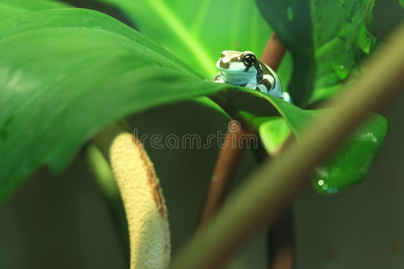 Download Poison dart frog stock image. Image of mint, auratus - 24045195