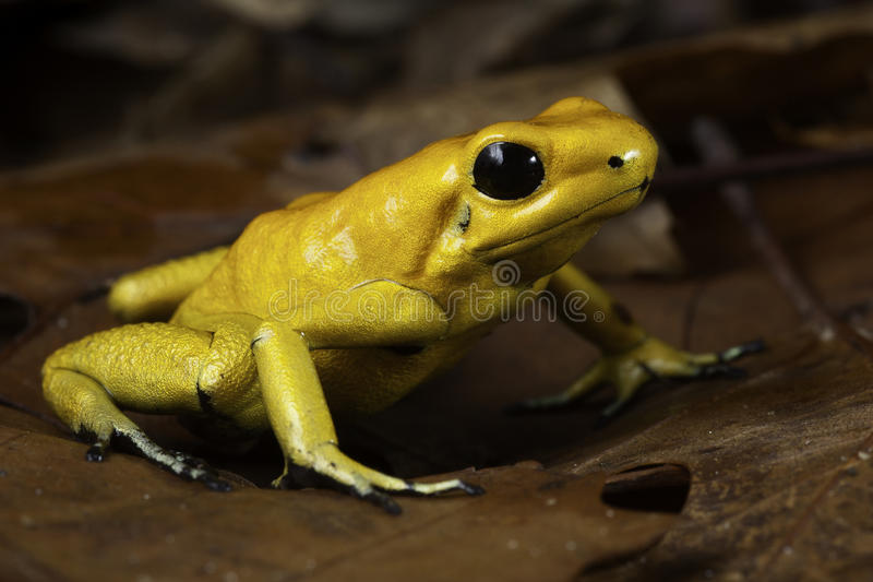 Poison dart frog. Phyllobates terribilis poisonous animal of tropical Amazon rain forest Colombia royalty free stock photo