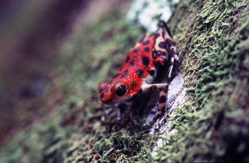 Poison Dart Frog stock images