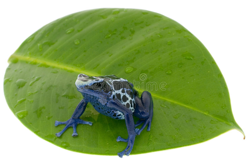 Poison dart frog. Dendrobates tinctorius on damp to a leaf, isolated over white royalty free stock image