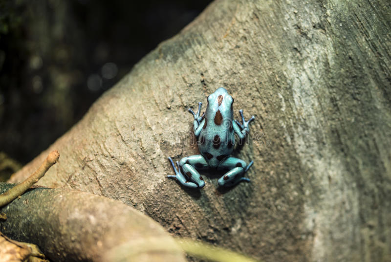 Poison dart frog. (also dart-poison frog, poison frog or formerly poison arrow frog) is the common name of a group of frogs in the family Dendrobatidae which royalty free stock photo