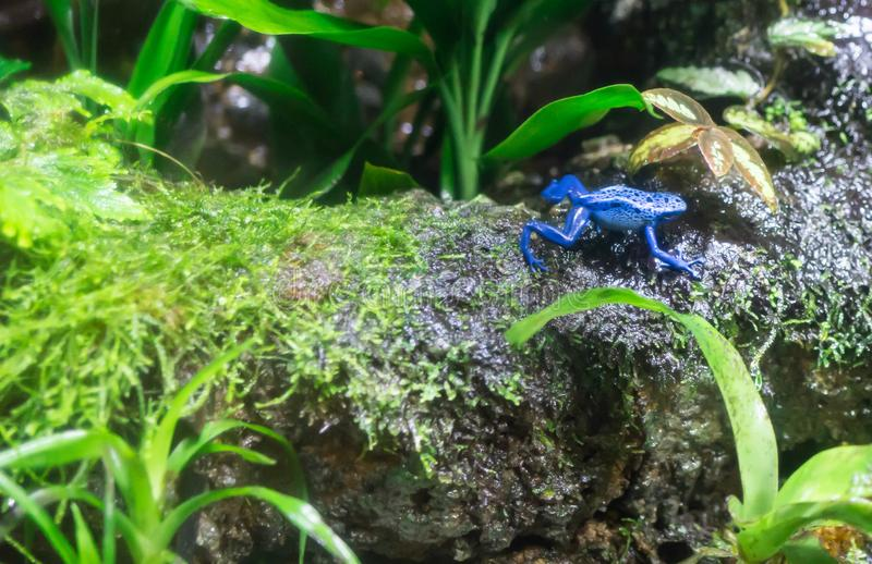 Poison dart frog or Poison Arrow Frogs is the common name of a g. Roup of frogs in the family Dendrobatidae which are native to tropical Central and South stock photography