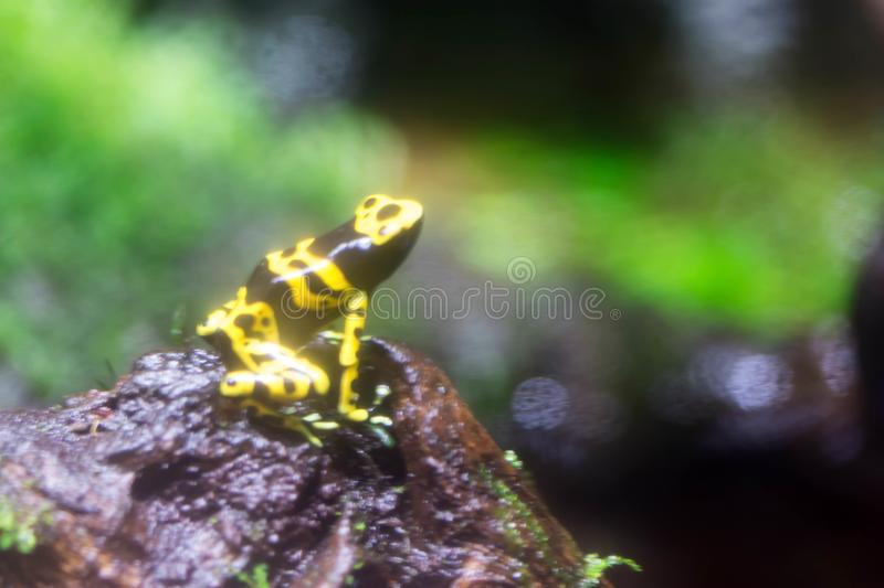 Poison dart frog or Poison Arrow Frogs is the common name of a g. Roup of frogs in the family Dendrobatidae which are native to tropical Central and South royalty free stock images