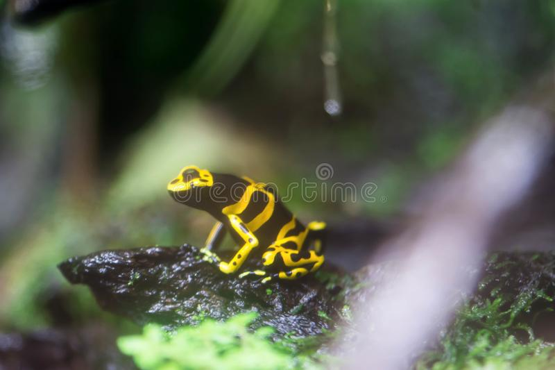 Poison dart frog or Poison Arrow Frogs is the common name of a g. Roup of frogs in the family Dendrobatidae which are native to tropical Central and South royalty free stock photography