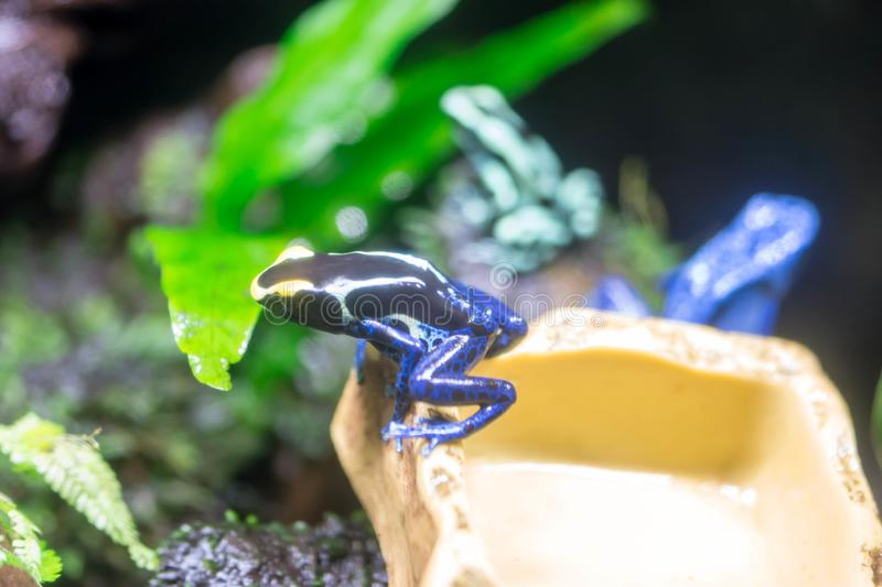 Poison dart frog or Poison Arrow Frogs is the common name of a g. Roup of frogs in the family Dendrobatidae which are native to tropical Central and South stock photo