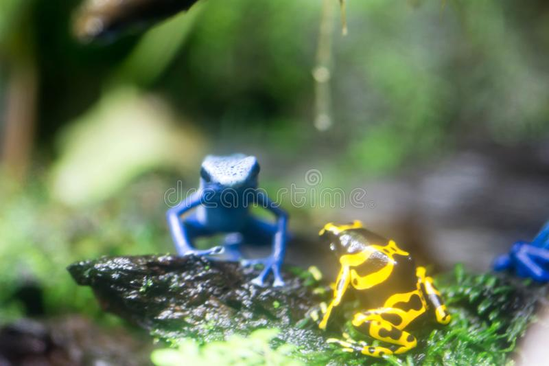 Poison dart frog or Poison Arrow Frogs is the common name of a g. Roup of frogs in the family Dendrobatidae which are native to tropical Central and South royalty free stock photos