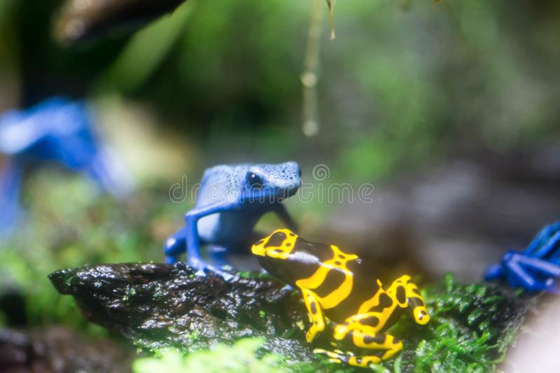 Poison dart frog or Poison Arrow Frogs is the common name of a g. Roup of frogs in the family Dendrobatidae which are native to tropical Central and South stock photos