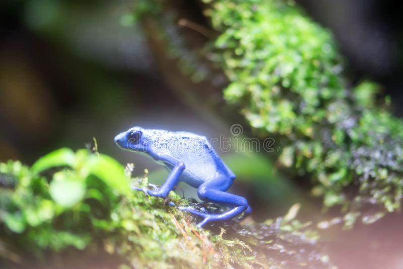 Poison dart frog or Poison Arrow Frogs is the common name of a g. Roup of frogs in the family Dendrobatidae which are native to tropical Central and South royalty free stock image