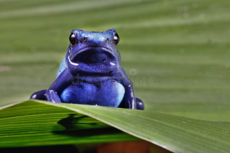 Poison dart frog bright blue stock image