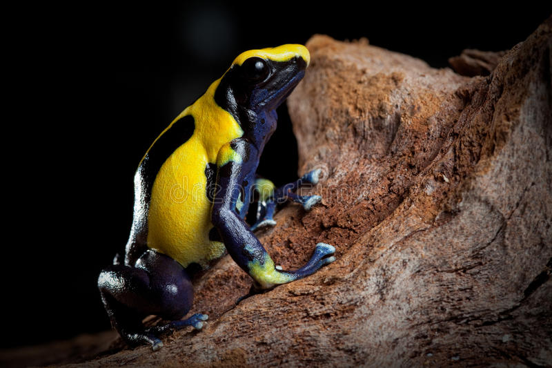 Poison dart frog exotic pet in terrarium royalty free stock image
