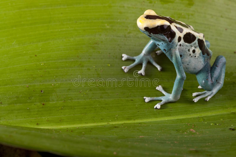 Poison dart frog on green leaf in amazon jungle royalty free stock photos