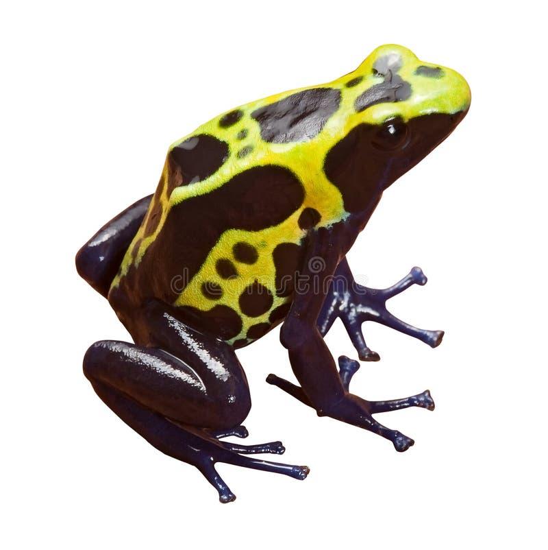 Poison dart frog isolated amphibian stock image