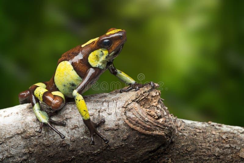 Poison dart frog, Oophaga histrionica stock photos