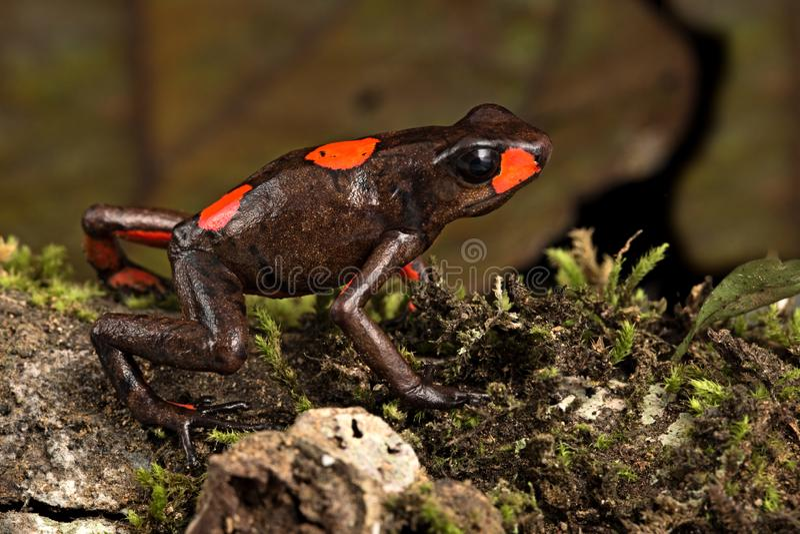 Poison dart frog Oophaga histrionica red bulls eye. Poison dart frog, Oophaga histrionica. The harlequin dartfrog red bullseye morph endemic in the tropical rain stock photography