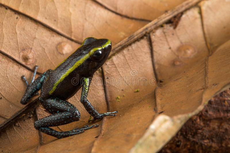 Poison dart frog, Phyllobates aurotaenia. A small very poisonous animal from the rain forest in Choco Colombia royalty free stock images