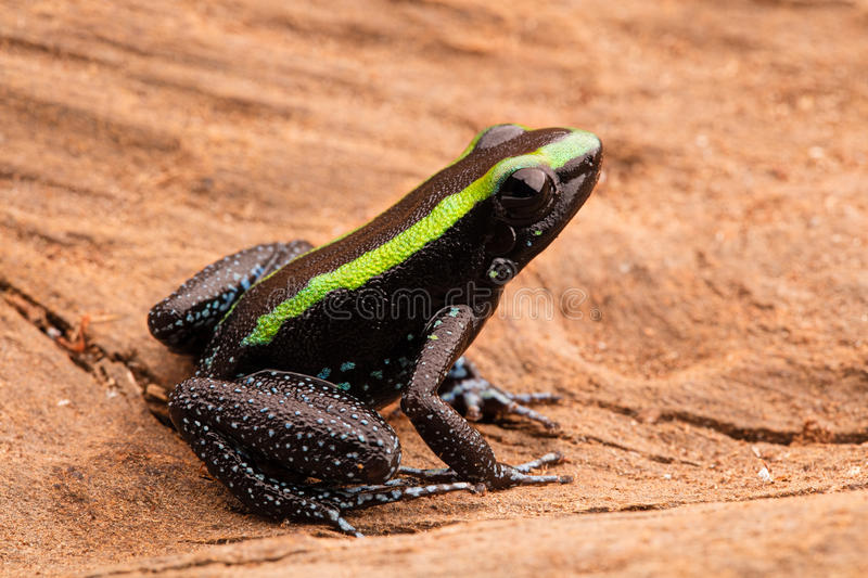 Poison dart frog phyllobates aurotaenia. Poison dart frog, phyllobates aurotaenia from the tropical rain forest of the Amazon in Colombia. A poisonous animal royalty free stock images