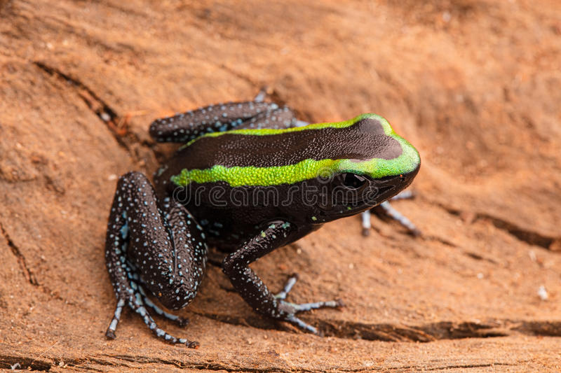 Poison dart frog phyllobates aurotaenia. Poison dart frog, phyllobates aurotaenia from the tropical rain forest of the Amazon in Colombia. A poisonous animal stock images