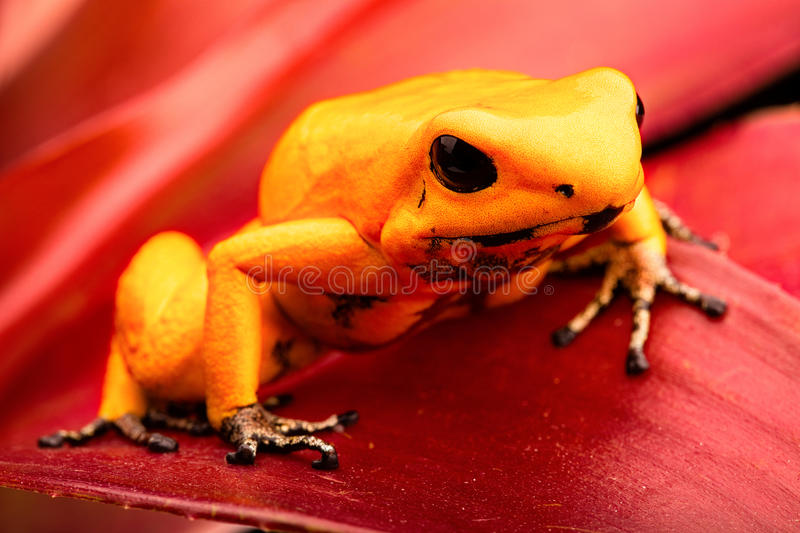 Poison dart frog Phyllobates terribilis. Poison dart frog, Phyllobates terribilis. Deadly animal from the tropical Amazon rain forest in Colombia. One of the royalty free stock image