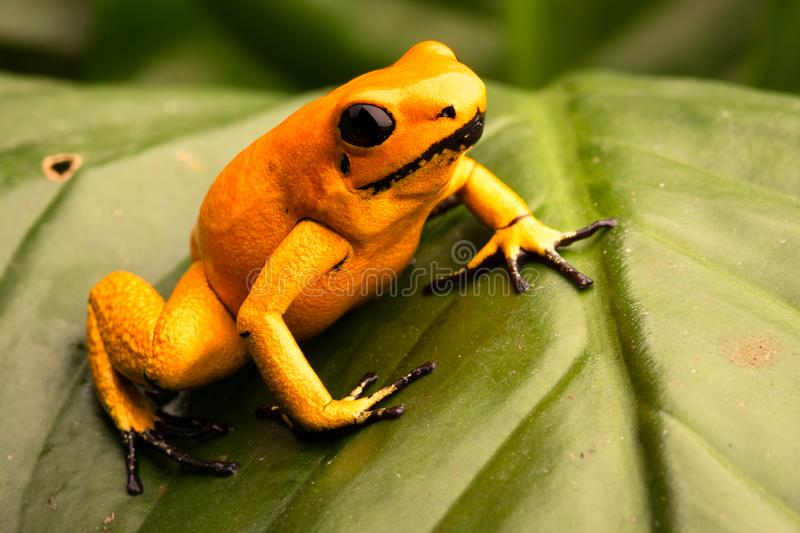 Poison dart frog Phyllobates terribilis orange. Poison dart frog, Phyllobates terribilis orange. Most poisonous animal from the Amazon rain forest in Colombia, a royalty free stock image