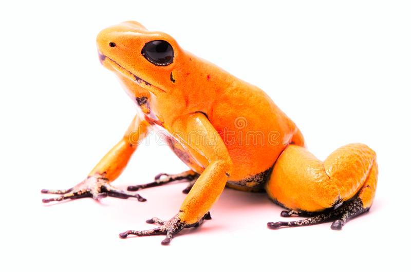 Poison dart frog, Phyllobates terribilis orange. Most poisonous animal. From the Amazon rain forest in Colombia, a dangerous amphibian with warning colors royalty free stock images