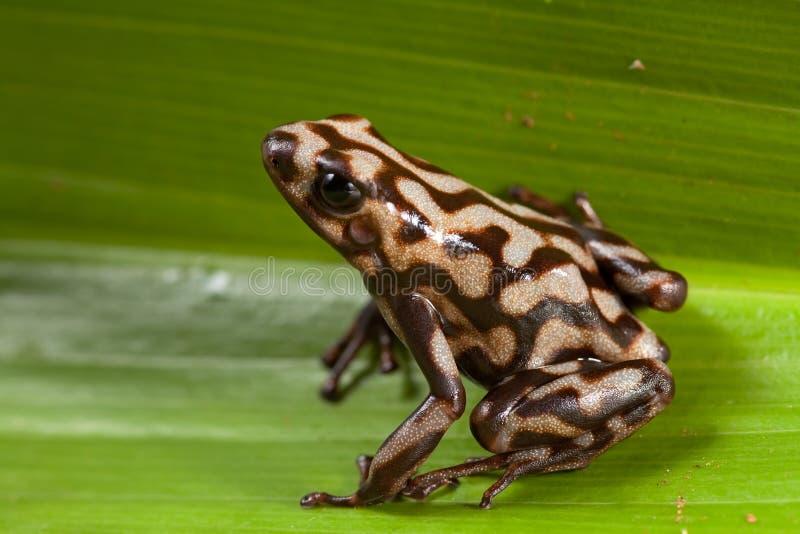 Poison dart frog poisonous animal stock photos