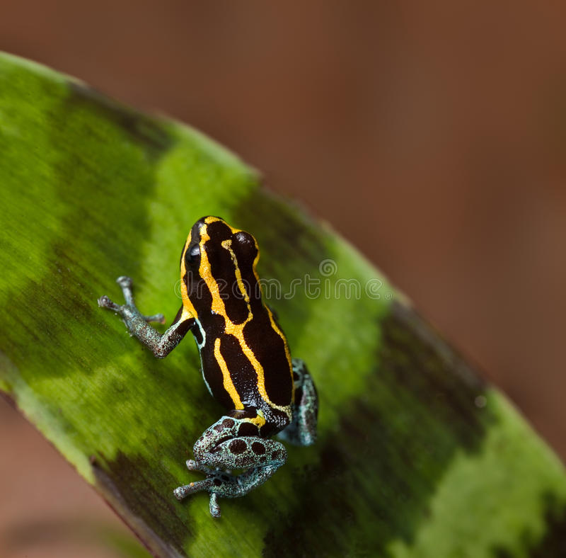 Poison dart frog poisonous animal of amazon jungle stock image