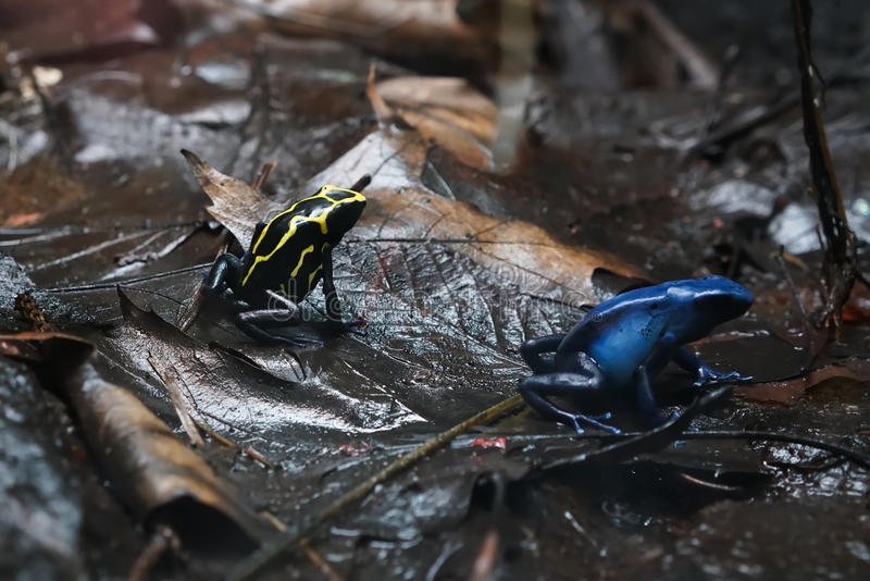 Poison dart frog. After rain on the forest floor stock image