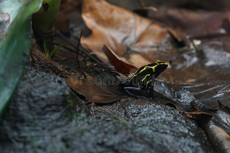 Poison dart frog. After rain on the forest floor stock photo