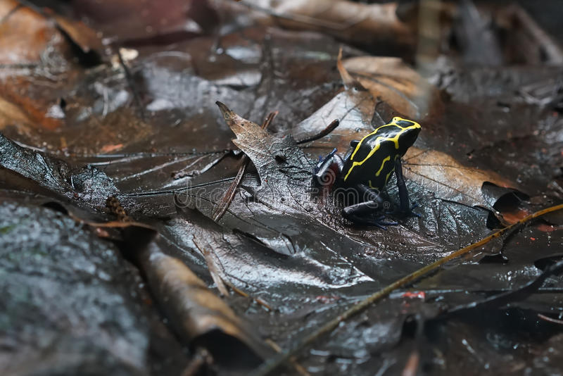 Poison dart frog. After rain on the forest floor royalty free stock photo