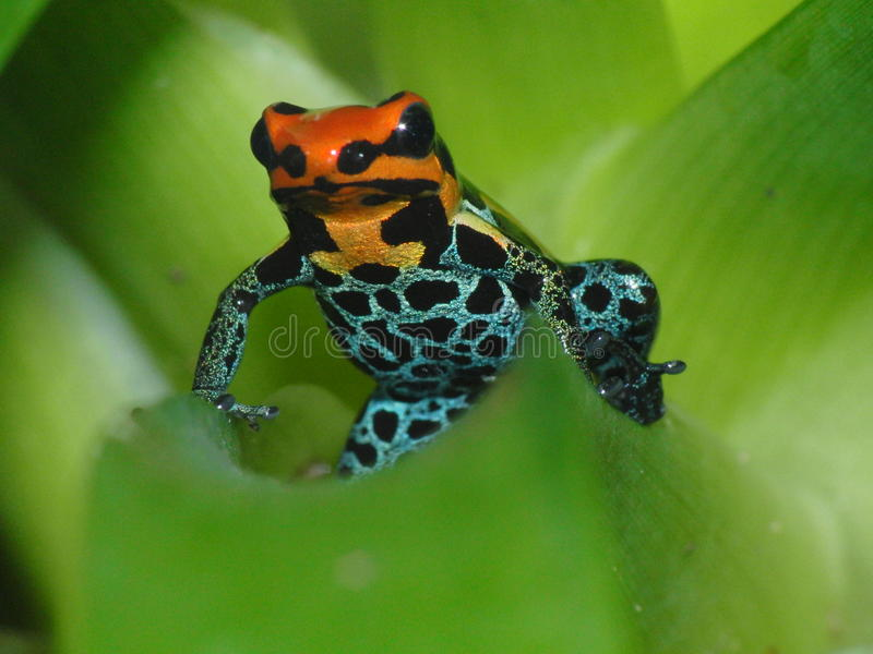 Poison dart frog Ranitomeya amazonica Iquitos on bromelia. Adult male Poison dart frog Ranitomeya amazonica Iquitos sitting on a bromelia stock photography