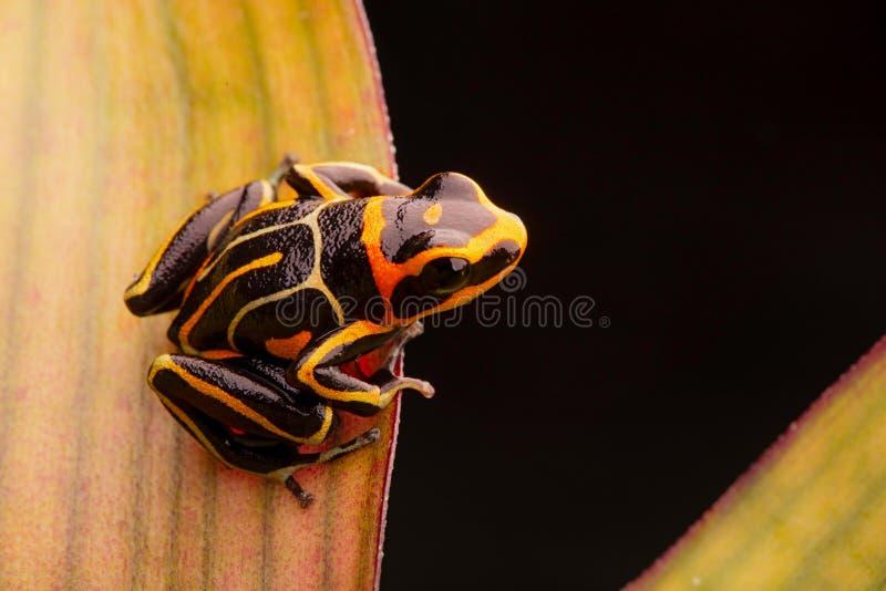 Poison dart frog, Ranitomeya fantastica striped morph stock photography