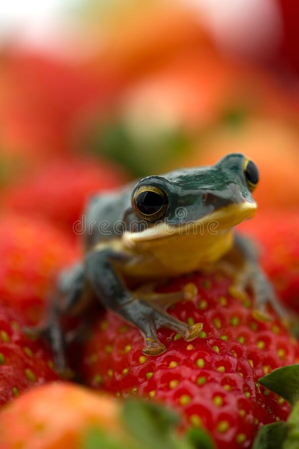 The poison dart frog sits on the berries royalty free stock photos