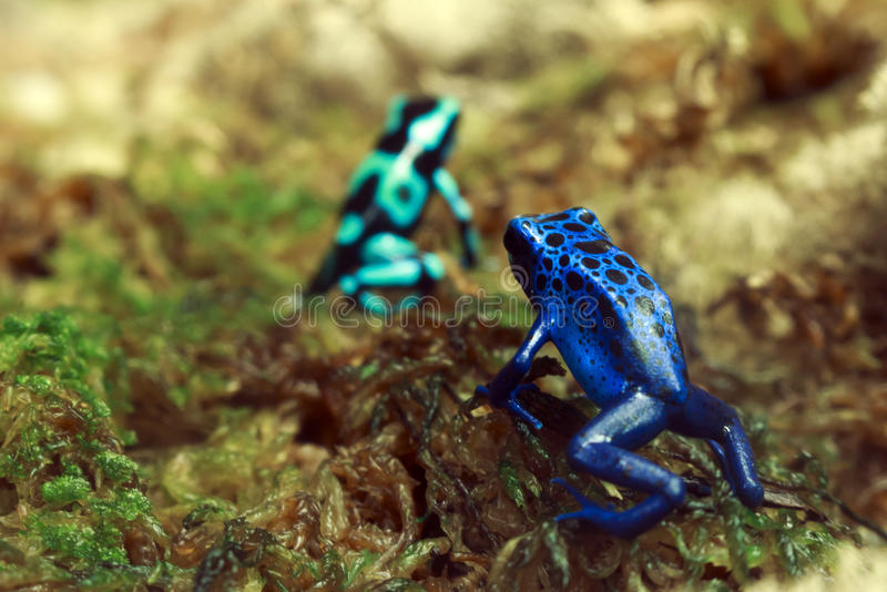 Poison Dart Frogs royalty free stock photography