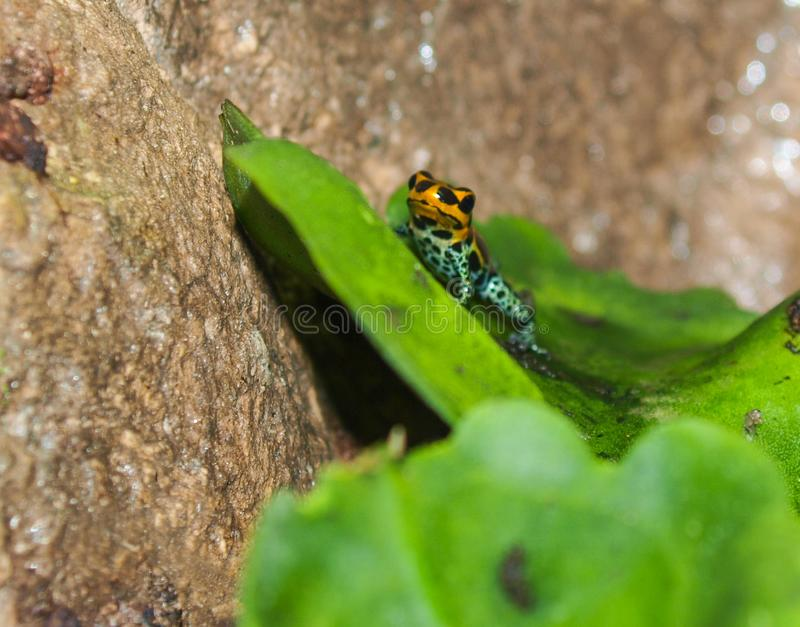 Poison Dart Frog Dendrobatidae. Poison dart frogs, members of the Dendrobatidae family, wear some of the most brilliant and beautiful colors on Earth. The two royalty free stock photos