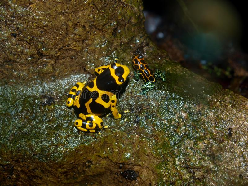 Poison Dart Frogs. Members of the Dendrobatidae family, wear some of the most brilliant and beautiful colors on Earth. The two-inch-long golden poison frog has royalty free stock images