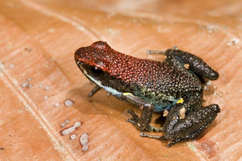 poison de grenouille photographie stock libre de droits