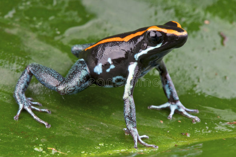 Poison frog. The poison frog / Phyllobates vitiates is a beautiful dart frog species from South America stock photos