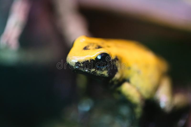 Poison frog very poisonous animal with warning colors. Poison frog very poisonous animal with warning yellow colors stock photography