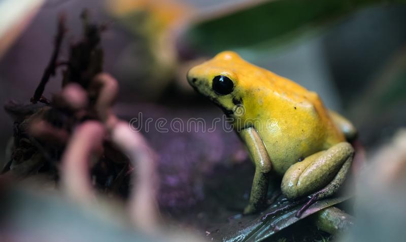 Poison frog very poisonous animal with warning colors. Poison frog very poisonous animal with warning yellow colors royalty free stock images