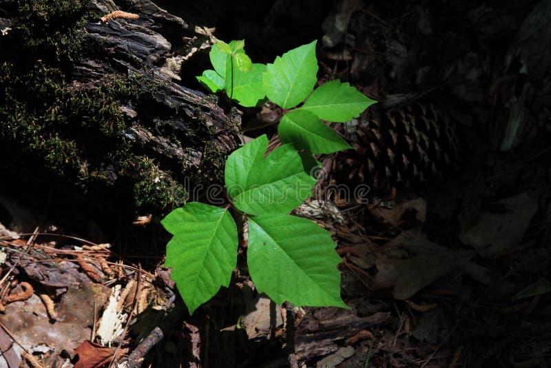 Download Poison Ivy stock photo. Image of vine, nature, irritation - 2295884