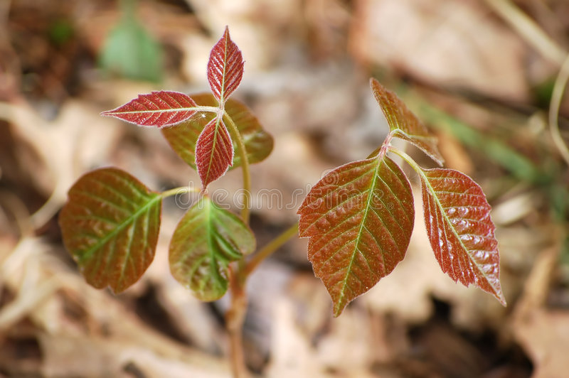 Download Poison ivy stock image. Image of itch, danger, three, forest - 5232817