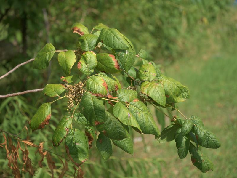 Poison Ivy Branch with Cluster of Leaves and Berries. Plant Identification Photograph: Toxicodendron Radicans foliage and fruit stock images