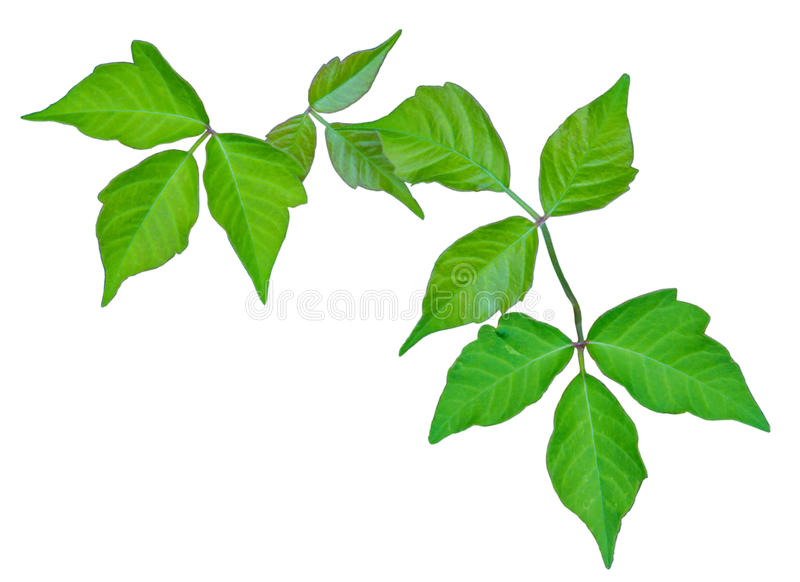 Poison Ivy stock image