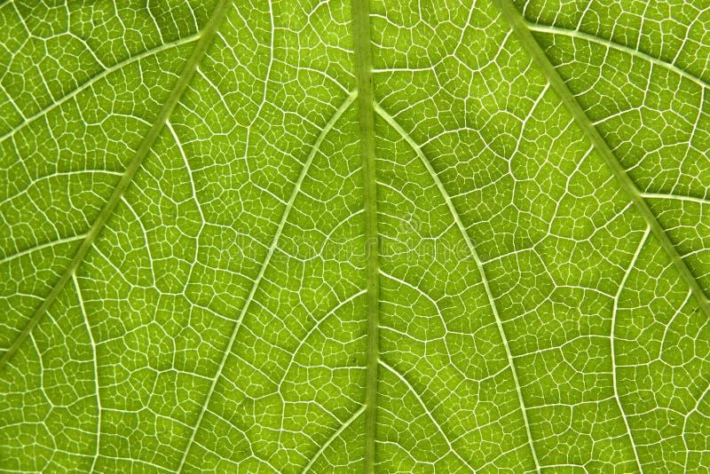 Download Poison ivy leaf close-up stock image. Image of close - 14265473