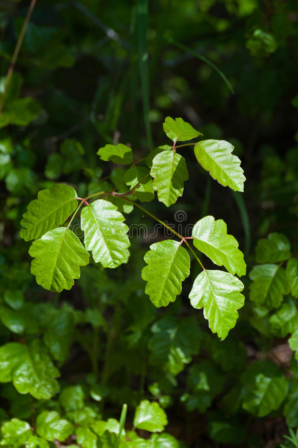 Poison Oak stock images